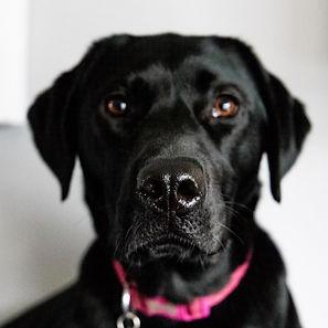 ellie bell photography, pet photography, dog, labrador, black labrador, female dog, pink collar