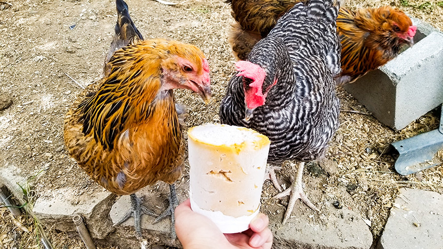 chickens eating ice cream