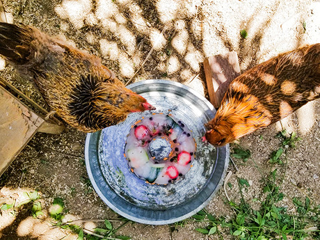 Frozen Summer Treats for Chickens, You, Dogs and Kids!
