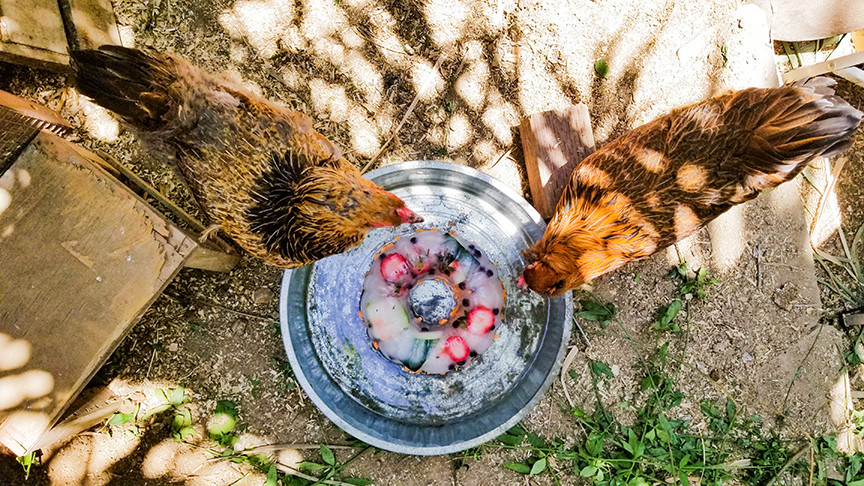 chickens around water dish with ice ring