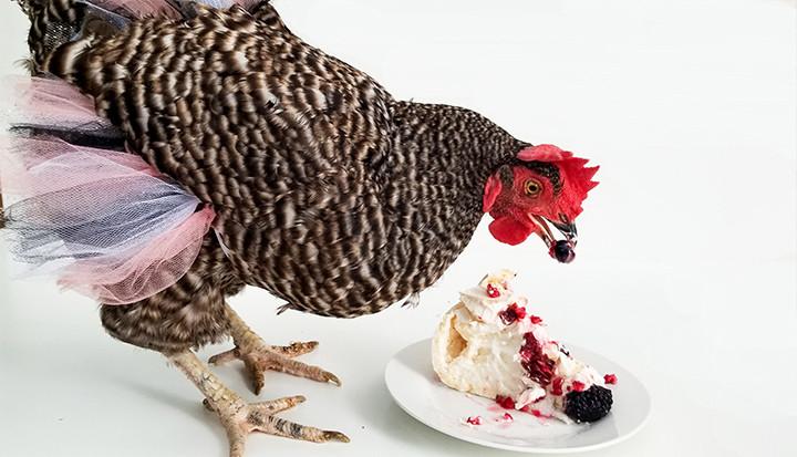 chicken in a tutu eating dessert