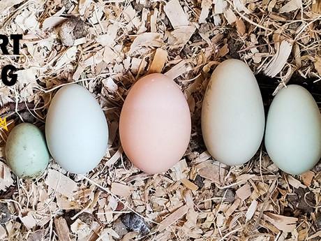 Fart Eggs, a Weird Egg Anomaly