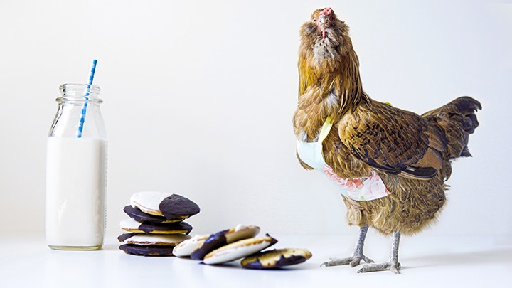 chicken standing next to a pile of black and white cookies with a glass of milk