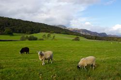 Coniston sheep