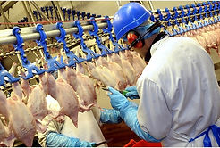 LED Lighting for Poultry Factories