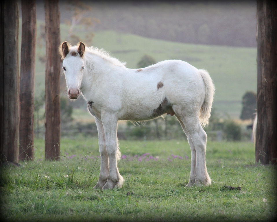 Gypsy Cob colt 8 weeks old