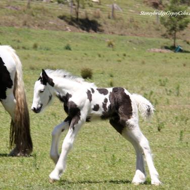 Gypsy Cob Colt Hercules