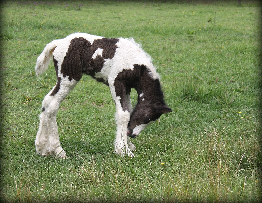 Gypsy Cob filly hours old