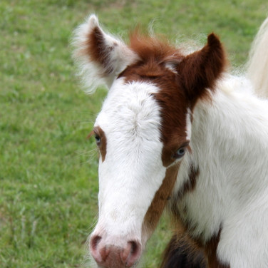 Gypsy Cob Filly Luna
