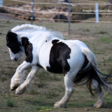 Purebred Gypsy Cob mare