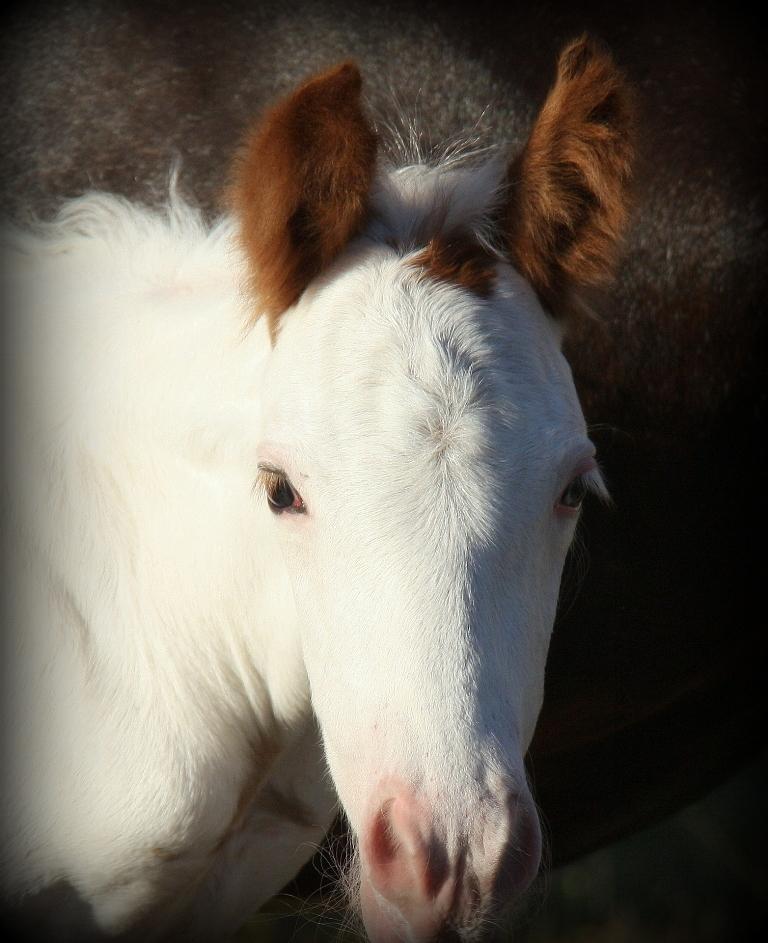 Snowgum Gypsy Cob Colt