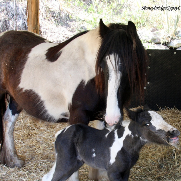 Gypsy Cob filly