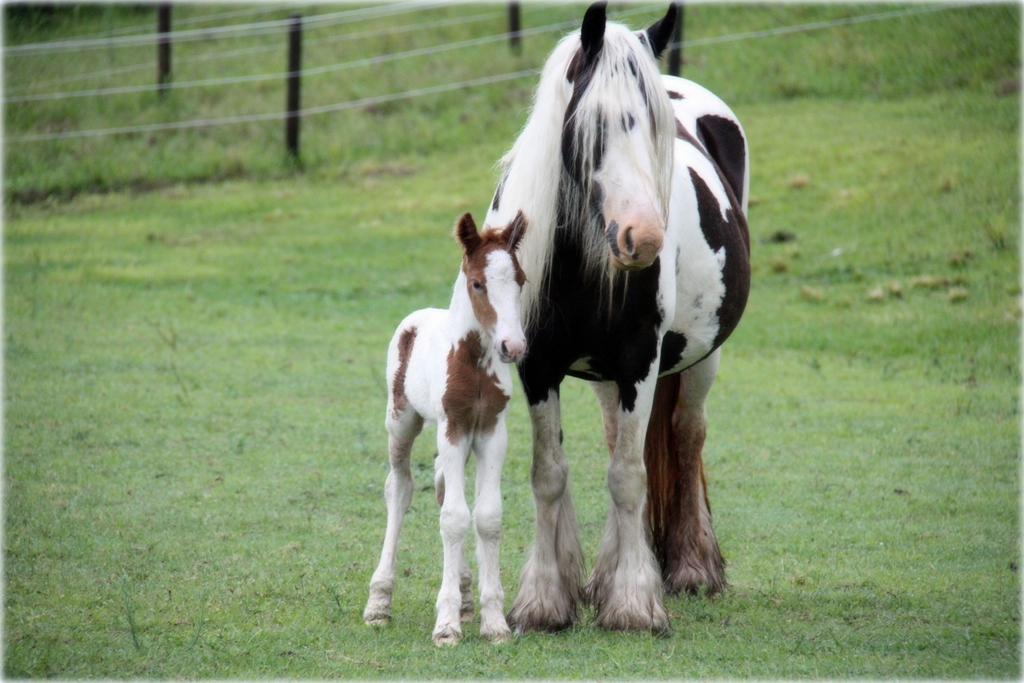 gypsy cob stallion nsw