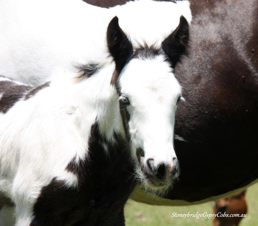 Gypsy Cob Foals