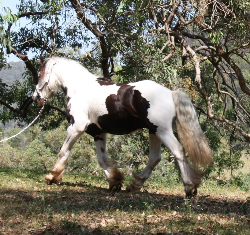 Gypsy Cob Stallion