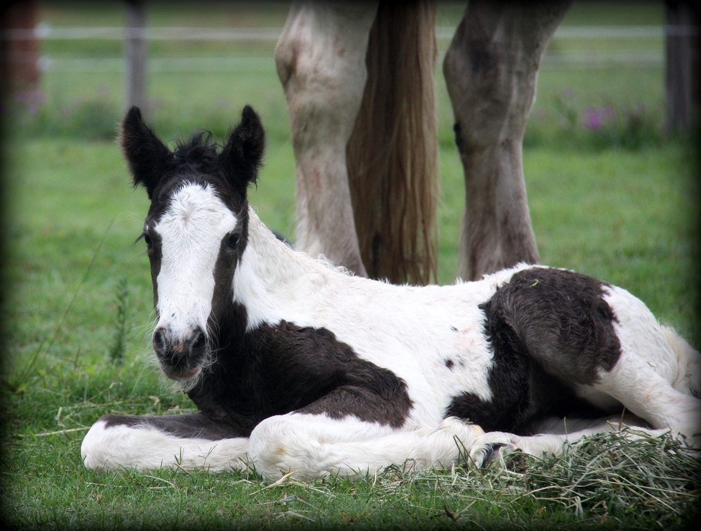 Gypsy Cob filly StoneyBridge Lilly