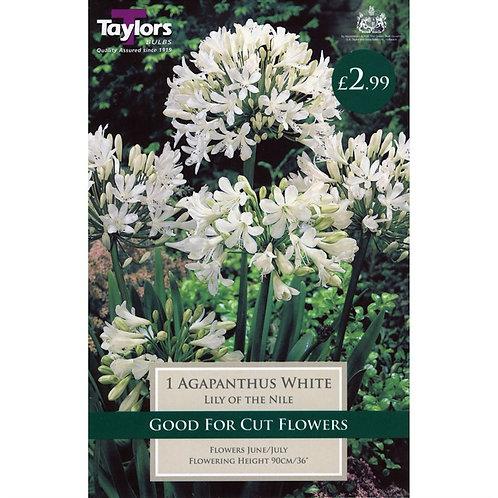 Taylors Agapanthus White Eye