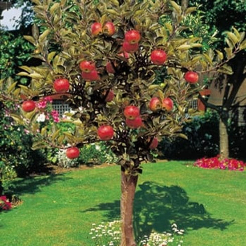 Apple Tree Discovery M26