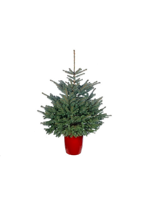 Pot Grown Blue Spruce Potted Christmas Tree 125-150cm