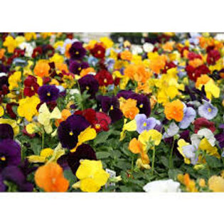 Pansy 6 Pack BEDDING