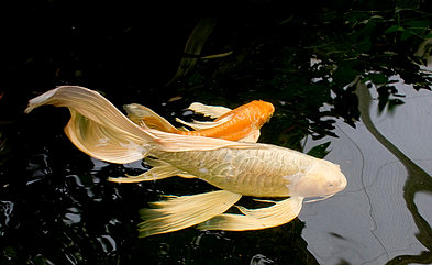 Bow aquatics expert friendly advice koi carp for Koi 9 en israel