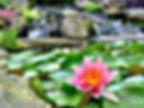 lily in pond.jpg