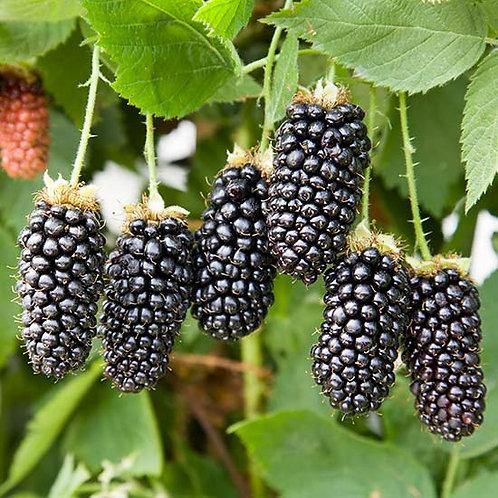 Blackberry Karaka Black