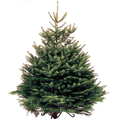 Norway Real Christmas Tree