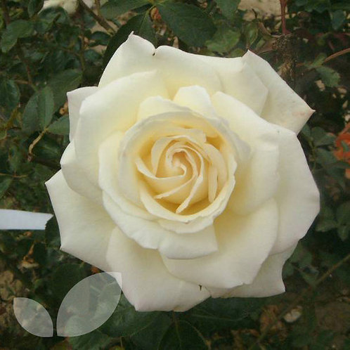 Bentley West Silver Wedding Hybrid Tea Rose