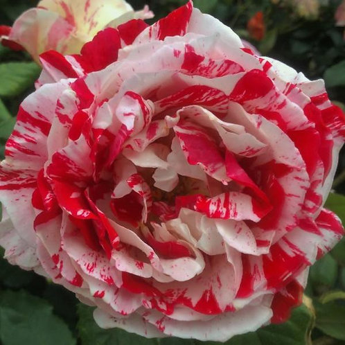 Bentley West Scentimental Hybrid Tea Rose