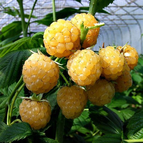 Rubus Raspberry All Gold 3L