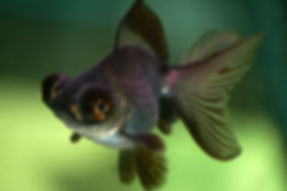 Black Moor Fish