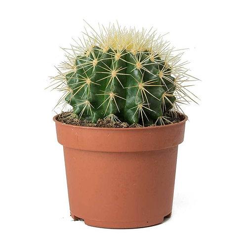 Cactus Mini Mix 3cm