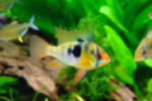 Male Blue Ram tropical fish