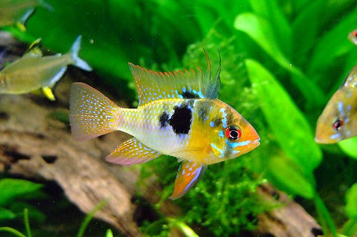 Male Blue Ram tropical fish