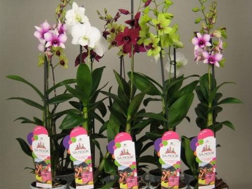 Dendrobium 11cm