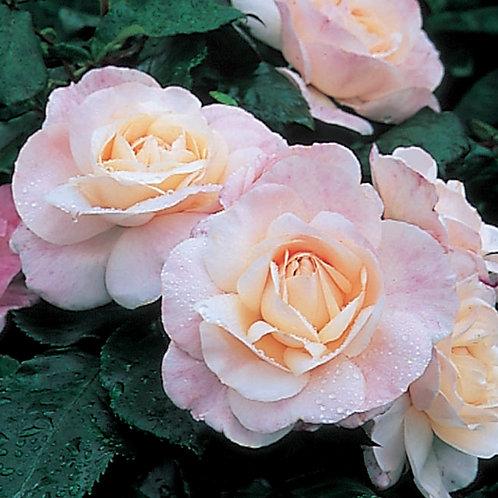 Bentley West English Miss Floribunda Rose