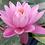 Thumbnail: Water Lily Medium 2L