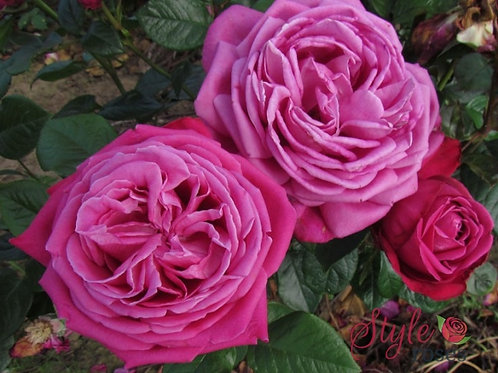 Bentley West Birthday Boy Hybrid Tea Rose
