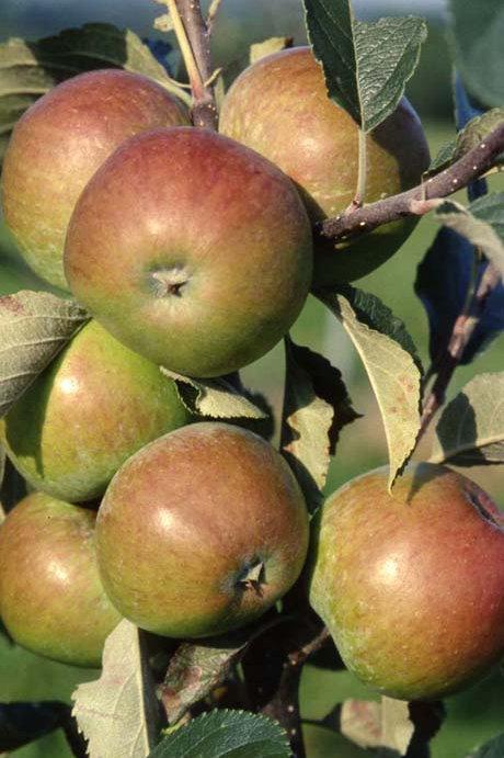 Apple (Malus) Harry M Jersey