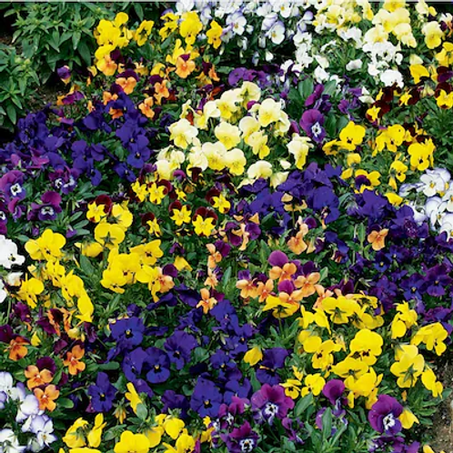 Viola 6 Pack BEDDING