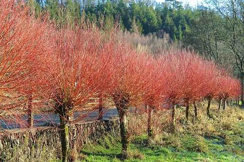 Salix Alba Sub Vitellina