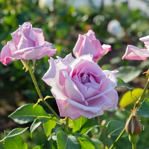 Bentley West Blue Moon Hybrid Tea Rose