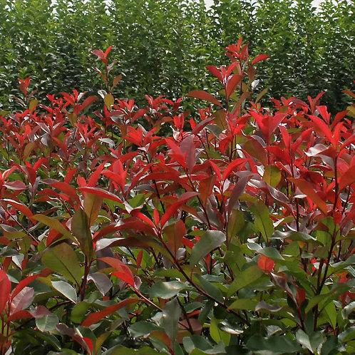 Photinia Red Robin 3L