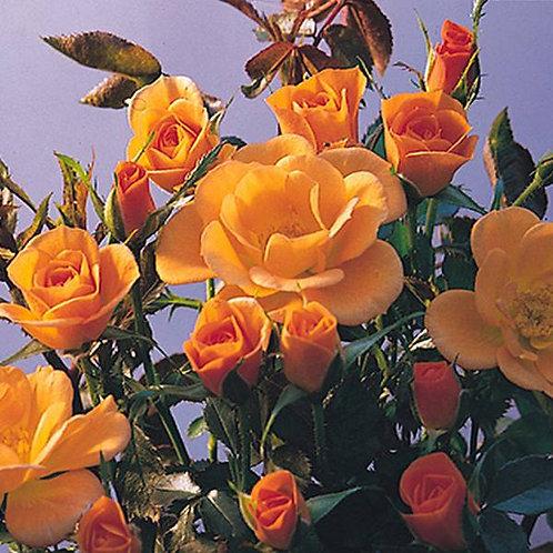 Bentley West Sweet Magic Patio Rose