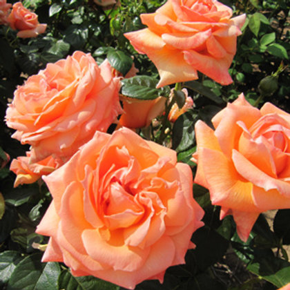 Bentley West Lady Marmalade Floribunda Rose