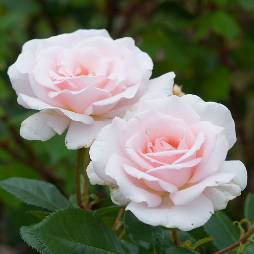 Bentley West A Whiter Shade Of Pale Hybrid Tea Rose