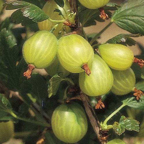 Ribes Uva-Crispa Gooseberry Hinnonmaki Green 3L
