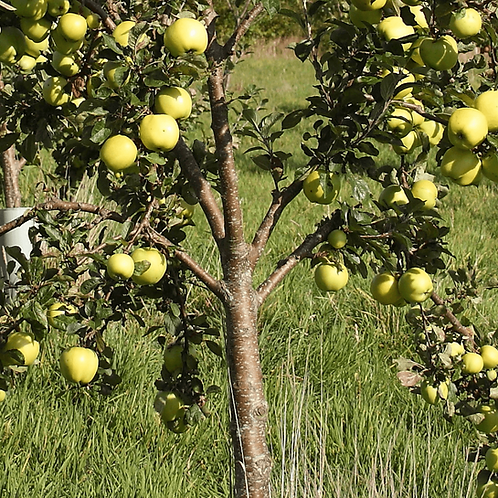 Apple Tree Egremont Russet
