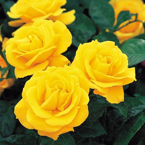 Bentley West Golden Wedding Floribunda Rose